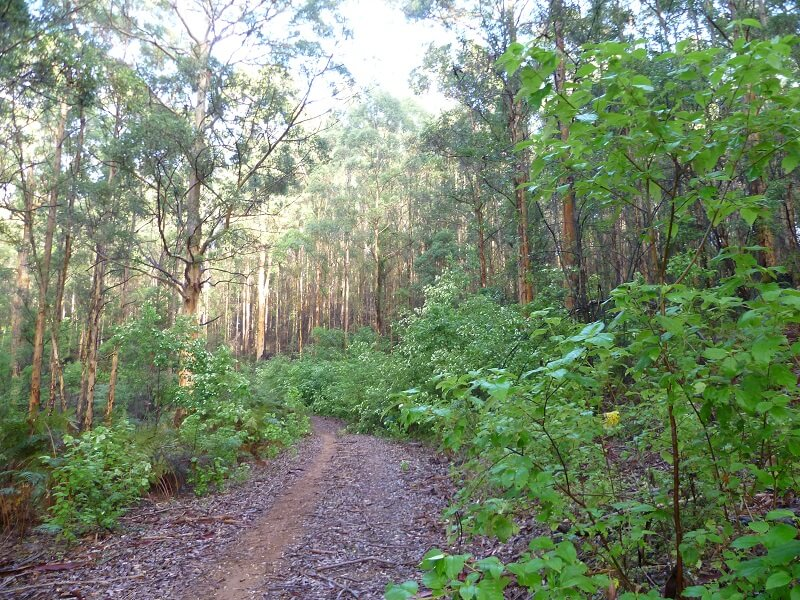 Karri forest Bibbulmun Track Western Australlia