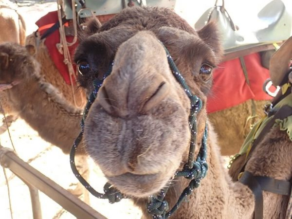 Join Simply Trekking and meet the camels to be met on the Bibbulmun Track