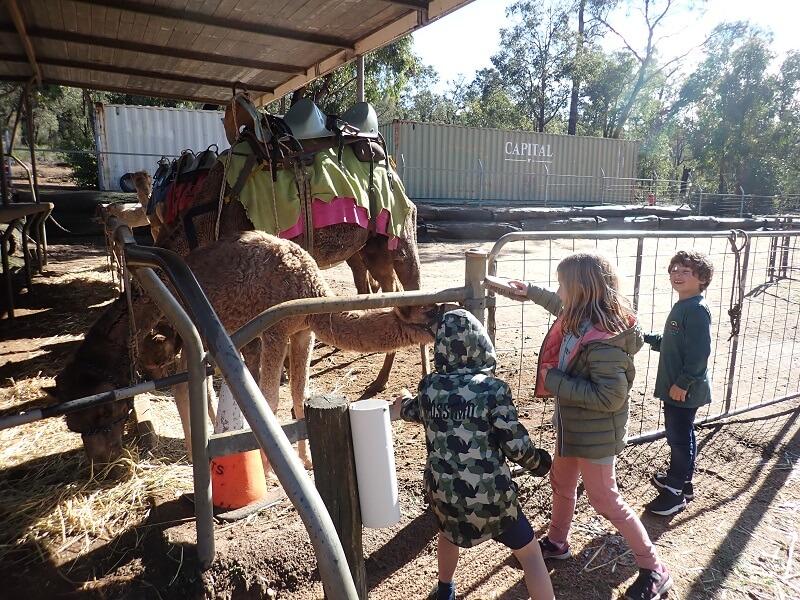 Feeding the camels next to the Bibbulmun Track