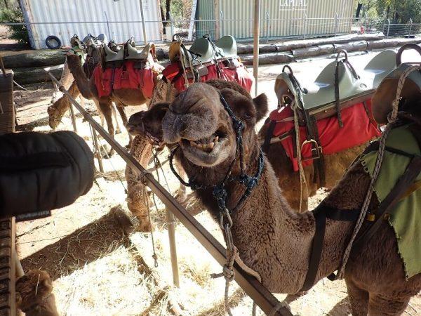 Join Simply Trekking for a ride on a camel alongside the Bibbulmun Track